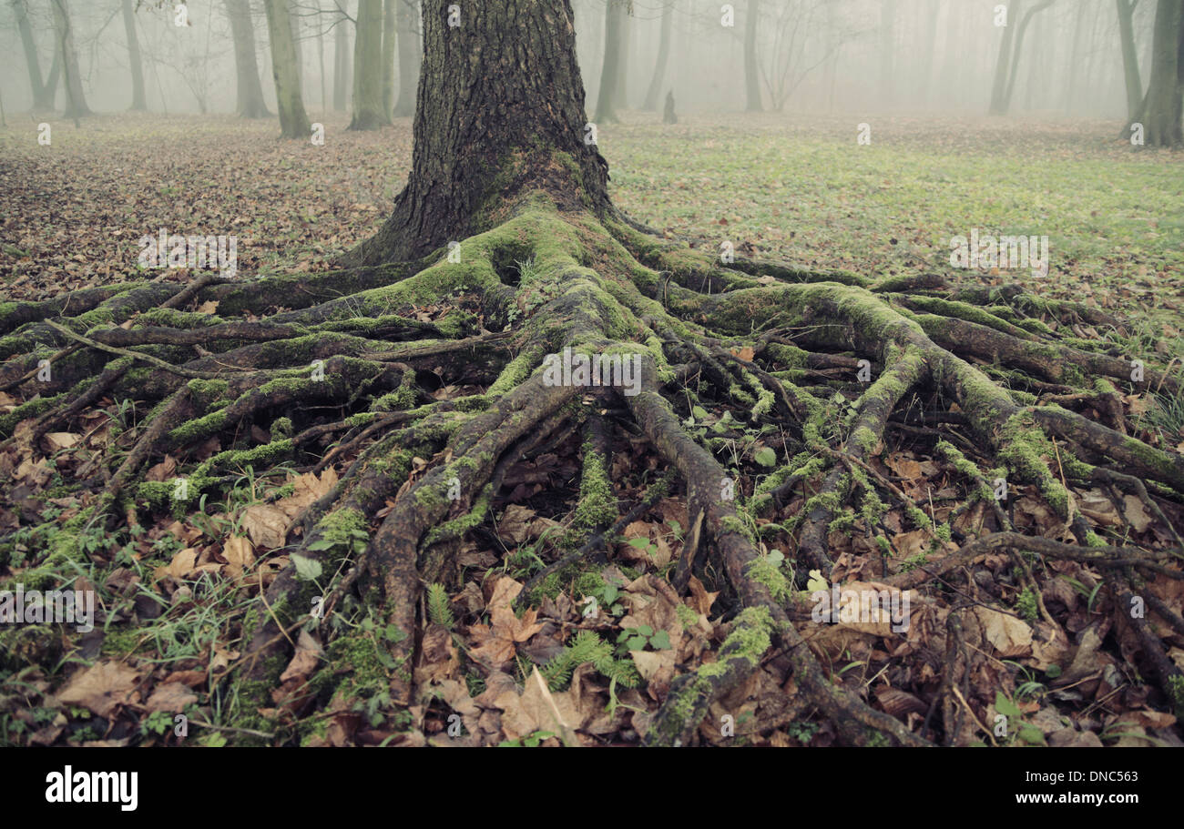 Photo presenting the old and long roots - Stock Image