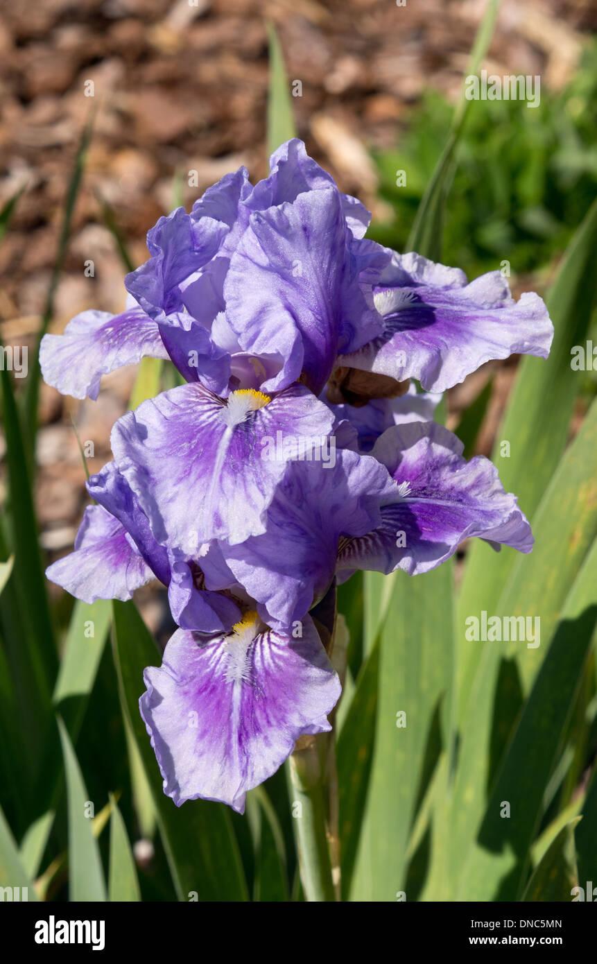 Iris Bedtime Story - Stock Image