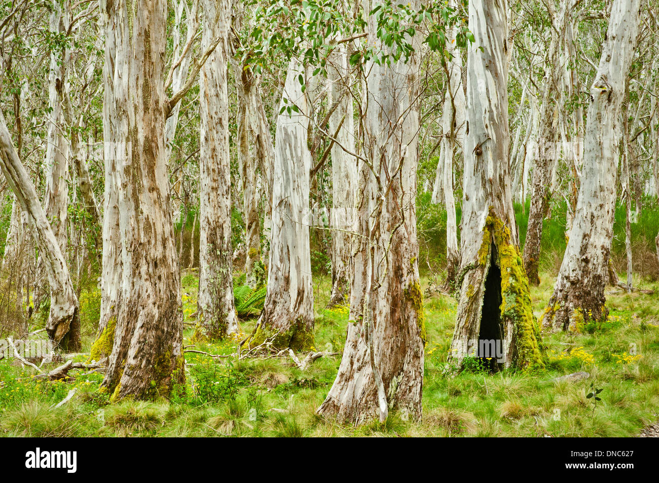 Ancient eucalyptus tree forest. - Stock Image