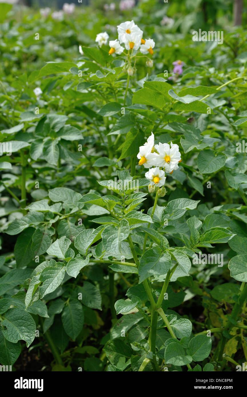 Potato Bushes With White Flowers Stock Photo 64809212 Alamy