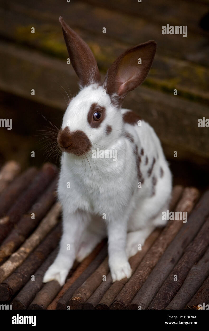 Chocolate English Spot Rabbit juvenile female - Stock Image