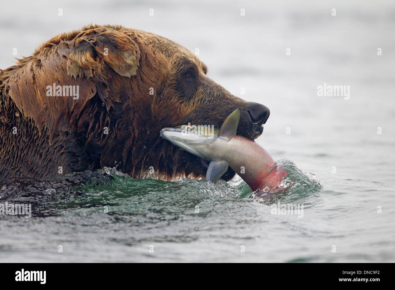 Alaskan Brown Bear Catching Salmon - Stock Image