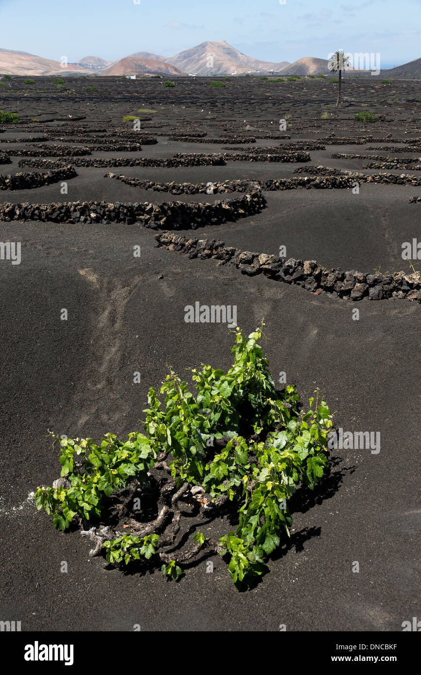 Vine growing on volcanic soil in moisture traps, Lanzarote, Canary Islands, Spain - Stock Image