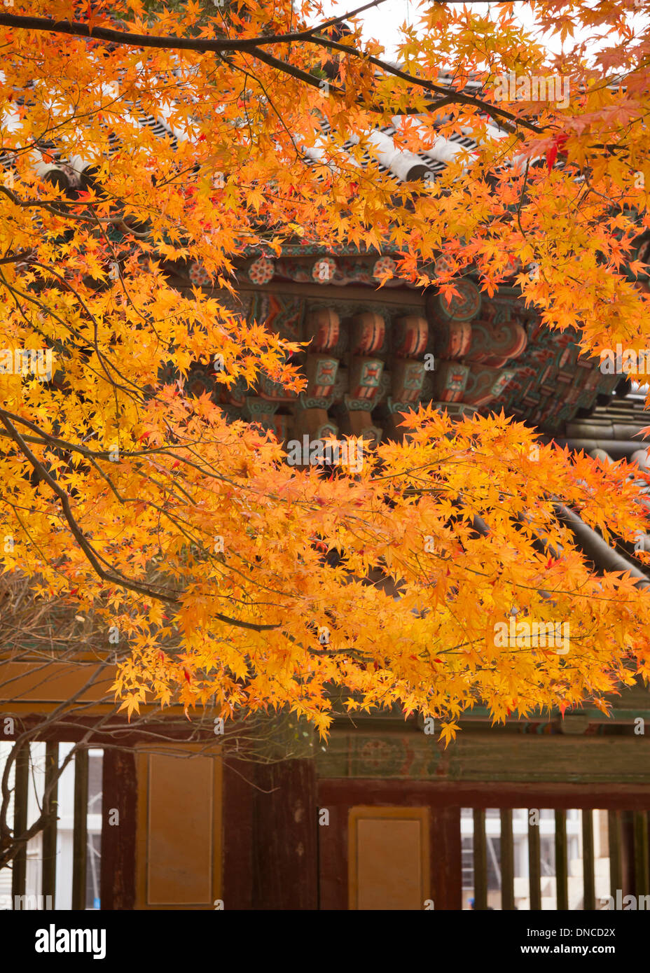 85ba42675e86d Fall color maple leaves in front of traditional Korean architecture (Hanok)  - South Korea