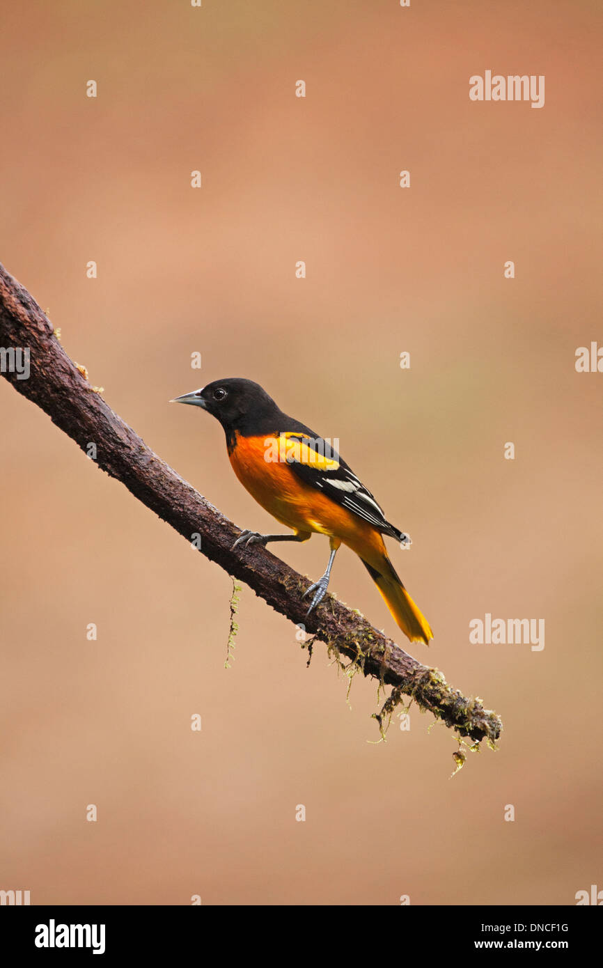 Baltimore Oriole male perched on tree branch (Icterus galbula) - Stock Image