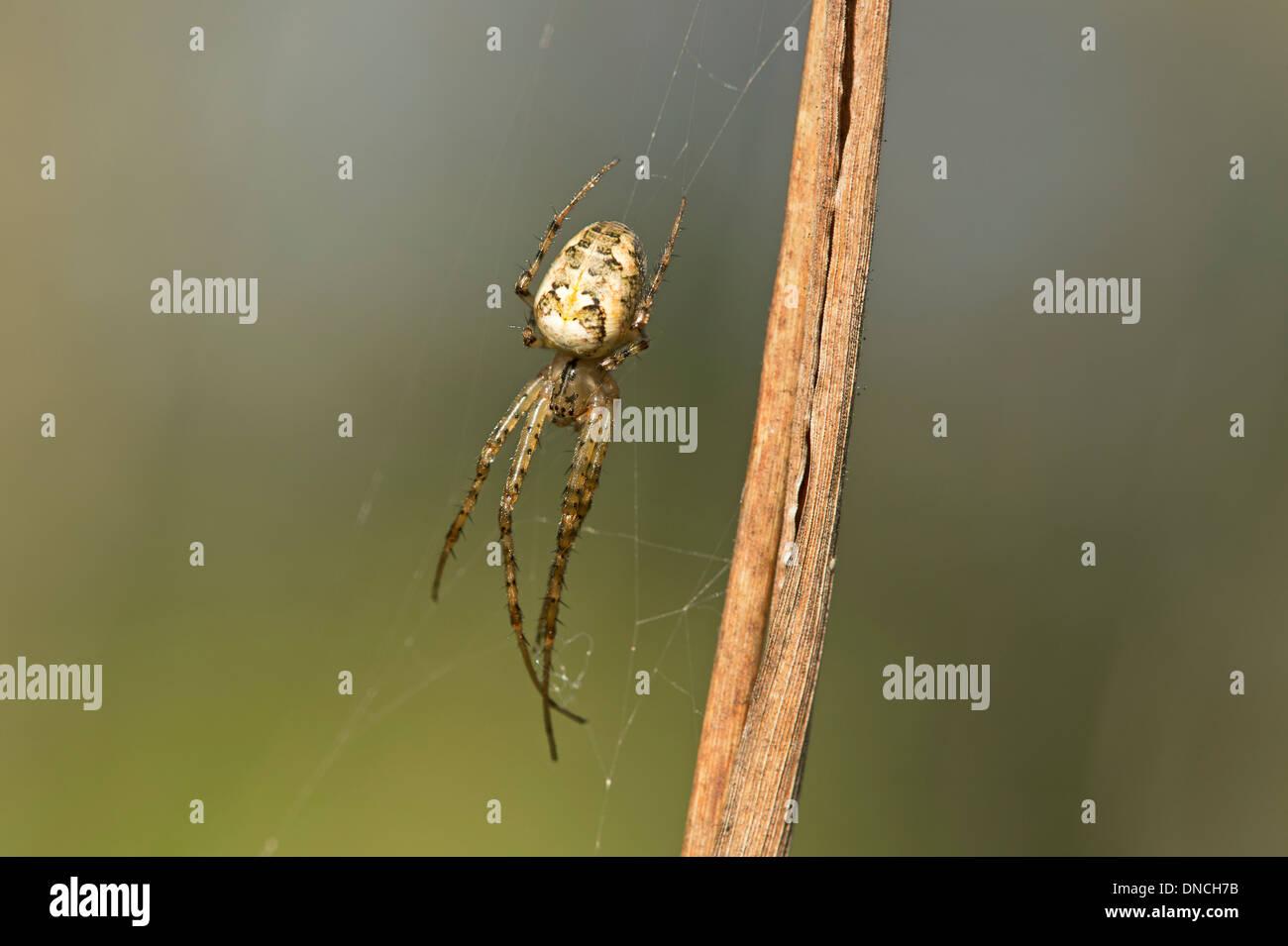 Meta segmentata spider, Long-jawed orb weavers (Tetragnathidae) - Stock Image