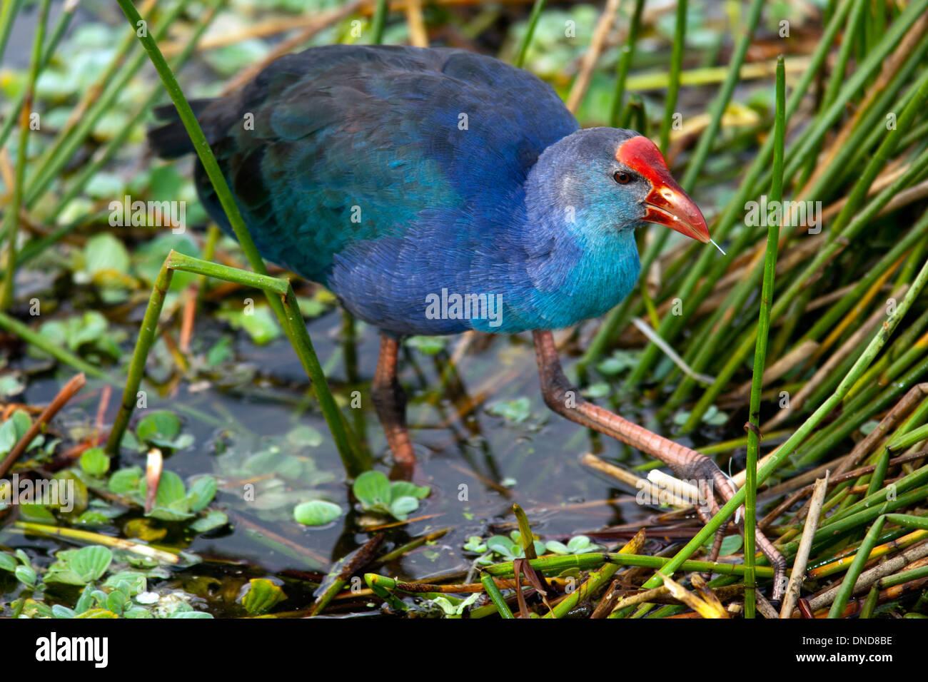Purple Swamphen - Green Cay Wetlands - Boynton Beach, Florida USA Stock Photo
