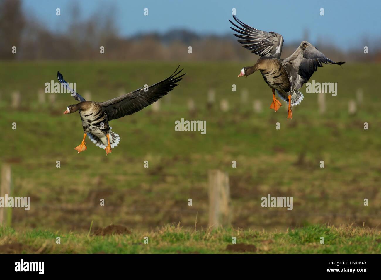 Landing Greater White Fronted Geese Landende Blässgänse - Stock Image