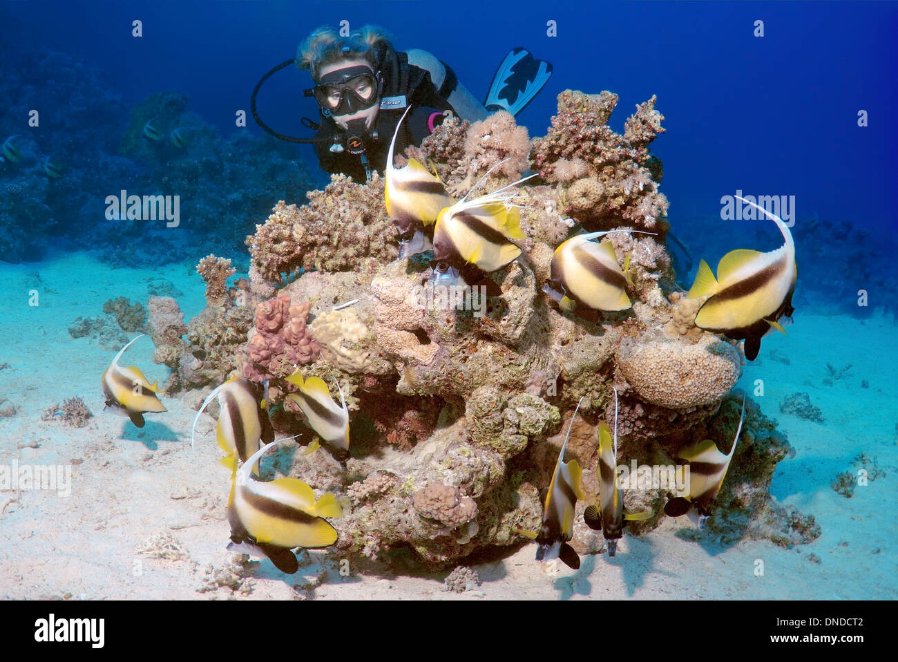 Diver looking at Pennant coralfish, longfin bannerfish or coachman (Heniochus acuminatus) Red sea, Egypt, Africa - Stock Image