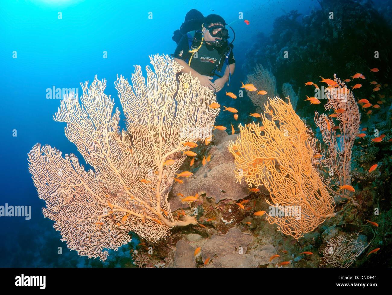 Diver looking at Venus fan, Venus sea fan, common sea fan, West Indian sea fan or purple gorgonian seafan (Gorgonia Stock Photo