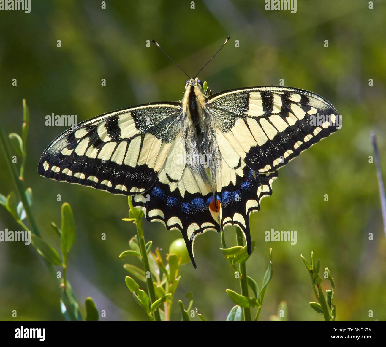 European Swallowtail butterfly at rest on vegetation - Stock Image