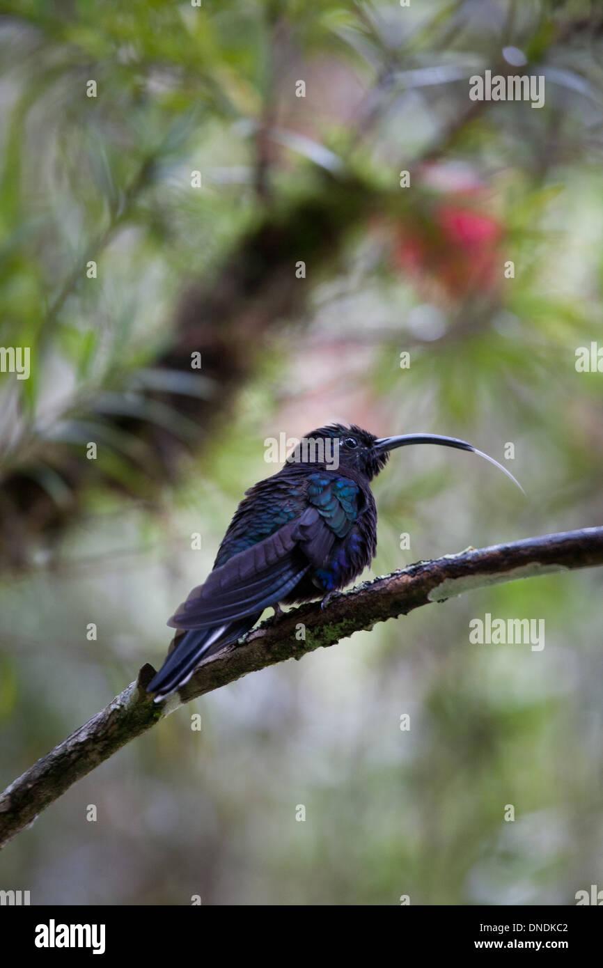Violet Sabrewing, Campylopterus hemileucurus, near Cerro Punta in Chiriqui province, Republic of Panama. Stock Photo