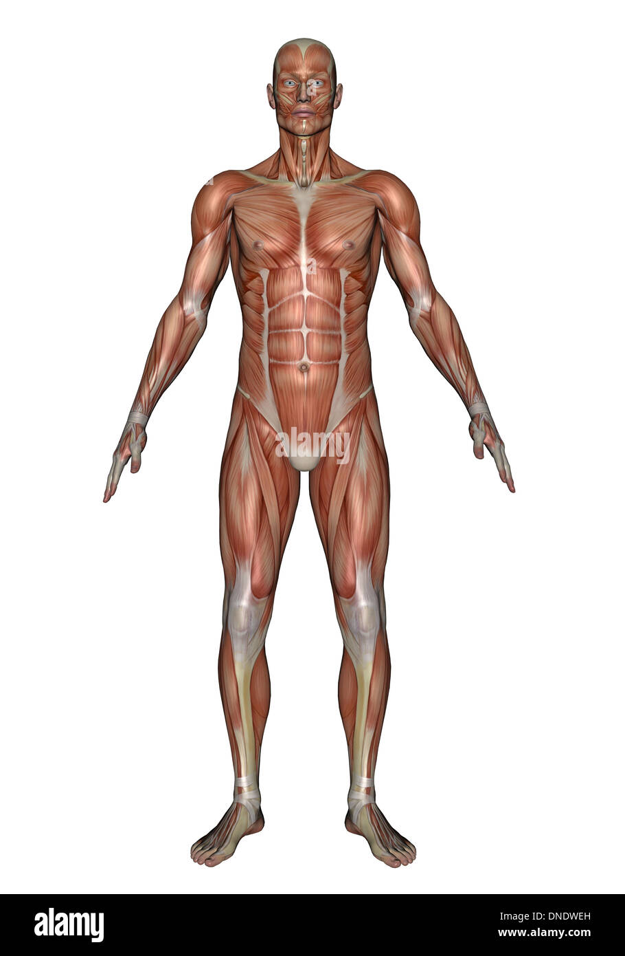 Anatomy of male muscular system, front view. Stock Photo
