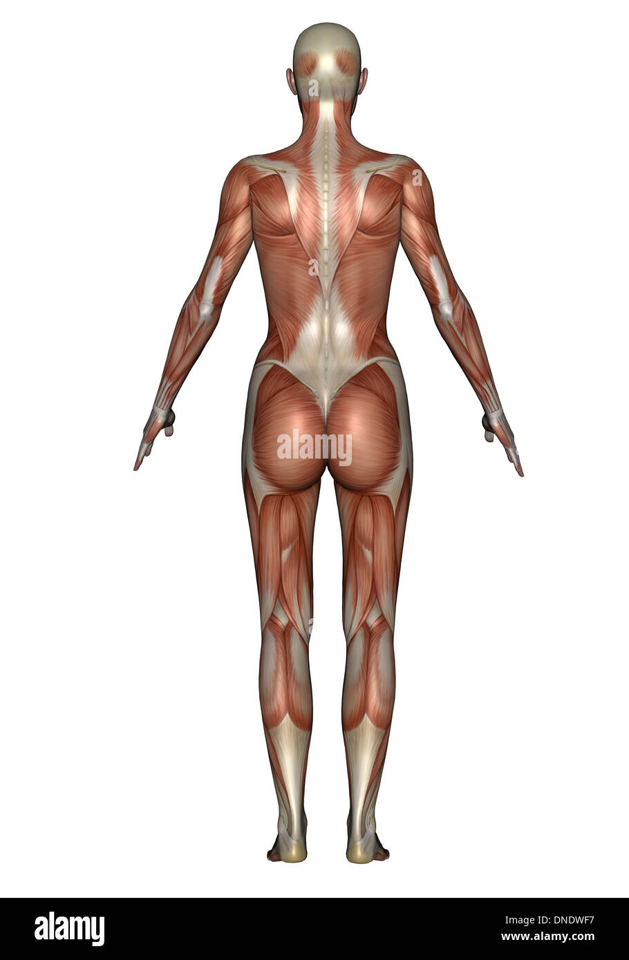 Anatomy Of Female Muscular System Back View Stock Photo 64844283