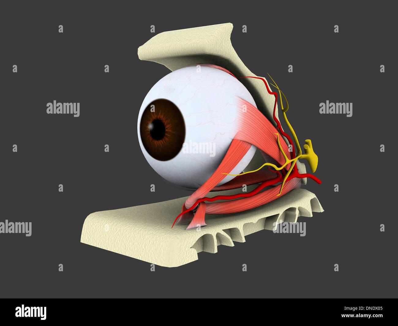 Conceptual image of human eye anatomy. - Stock Image