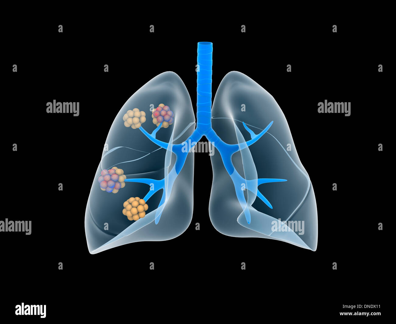 Conceptual image of human lungs. - Stock Image