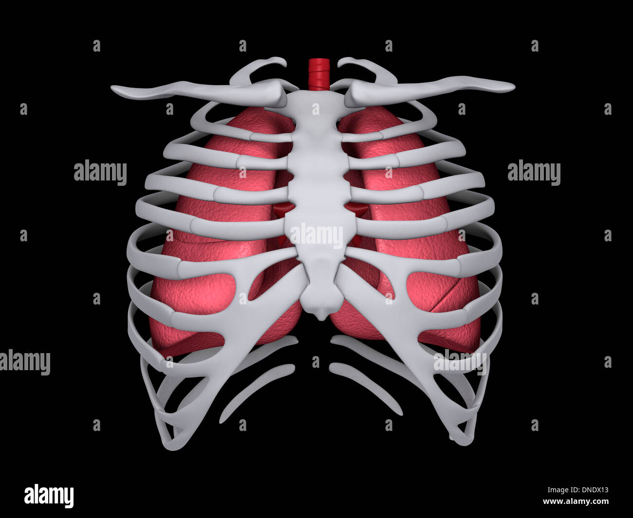 Conceptual image of human lungs and rib cage. - Stock Image