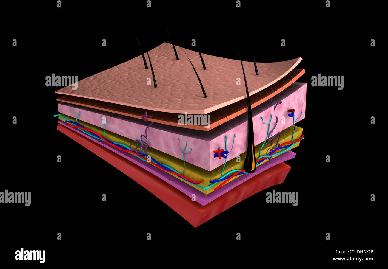 Conceptual image of the layers of human skin. - Stock Image