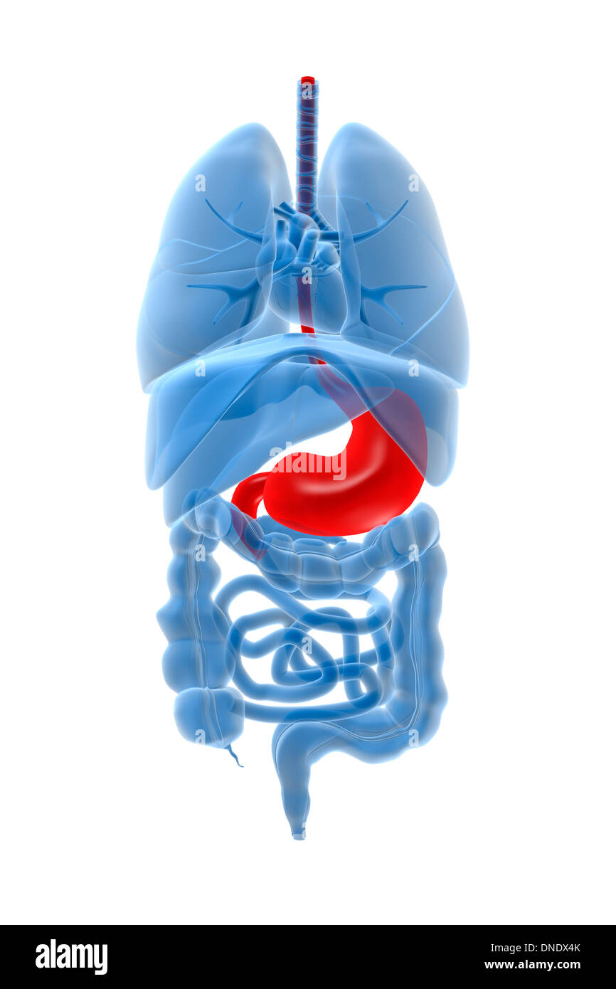 X-ray image of internal organs with stomach highlighted in red. - Stock Image