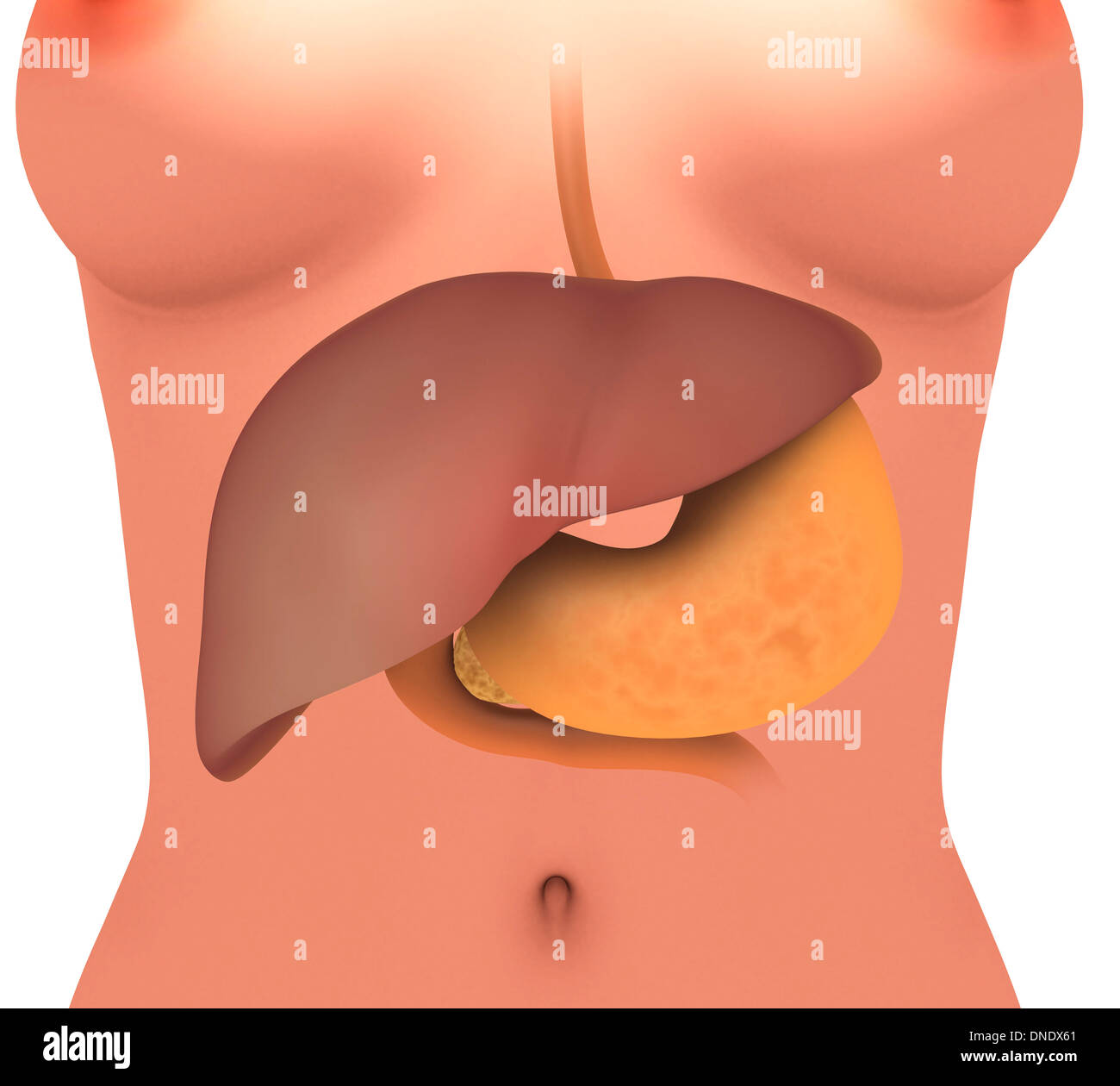 Digestive System Anterior View Stock Photos Digestive System
