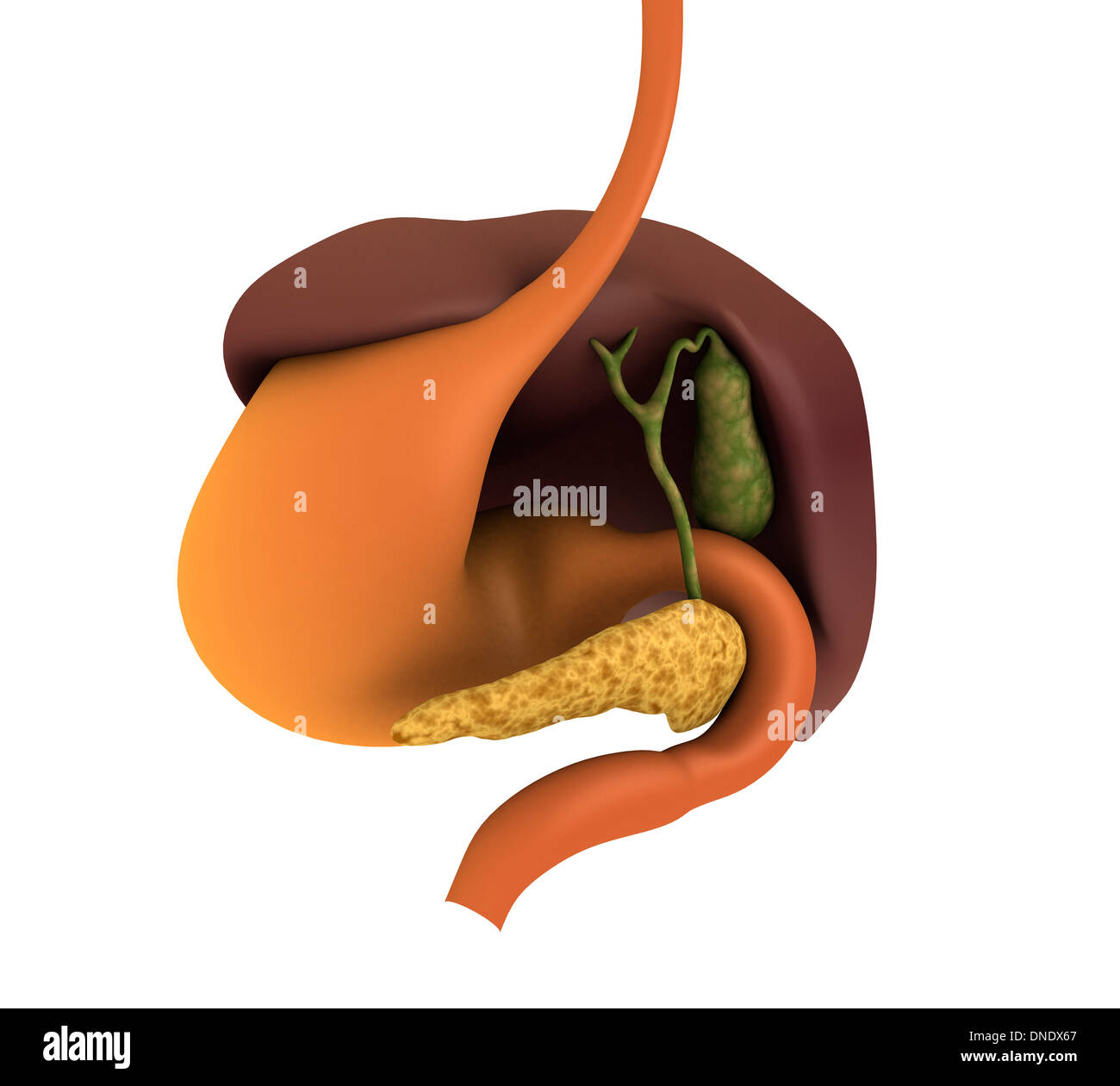 Liver And Gallbladder Stock Photos Liver And Gallbladder Stock