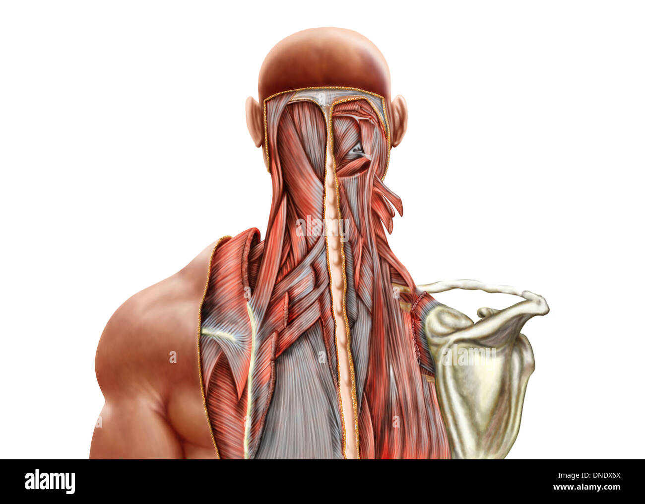 Human Anatomy Showing Deep Muscles In The Neck And Upper Back Stock