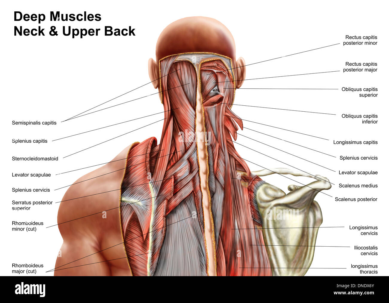 Upper Body Anatomy Artwork Stock Photos & Upper Body Anatomy Artwork ...