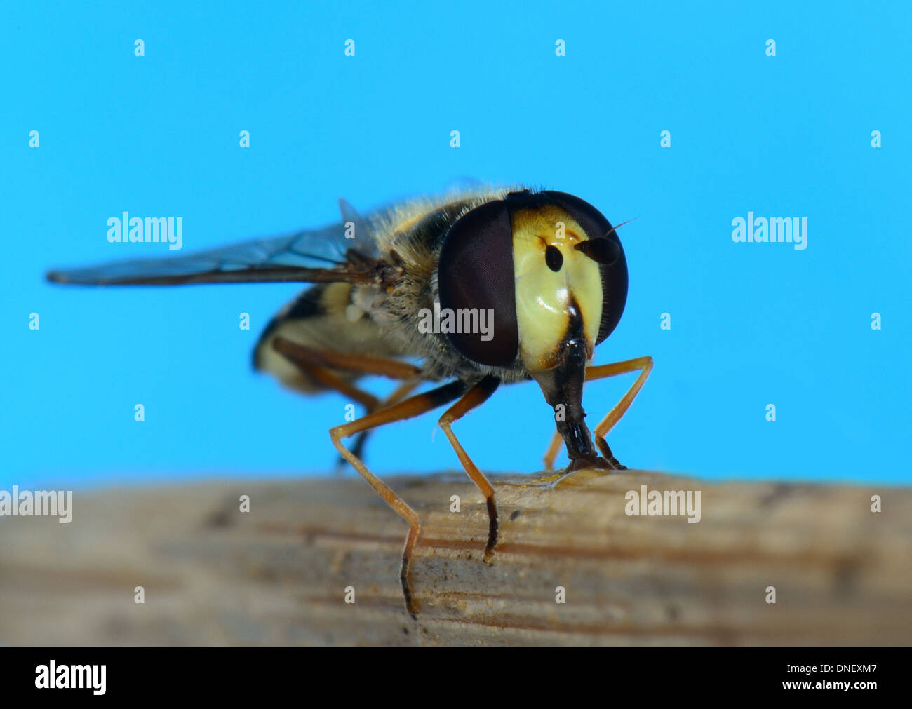 Close up of a Hover fly ,Epistrophe melanostoma - Stock Image