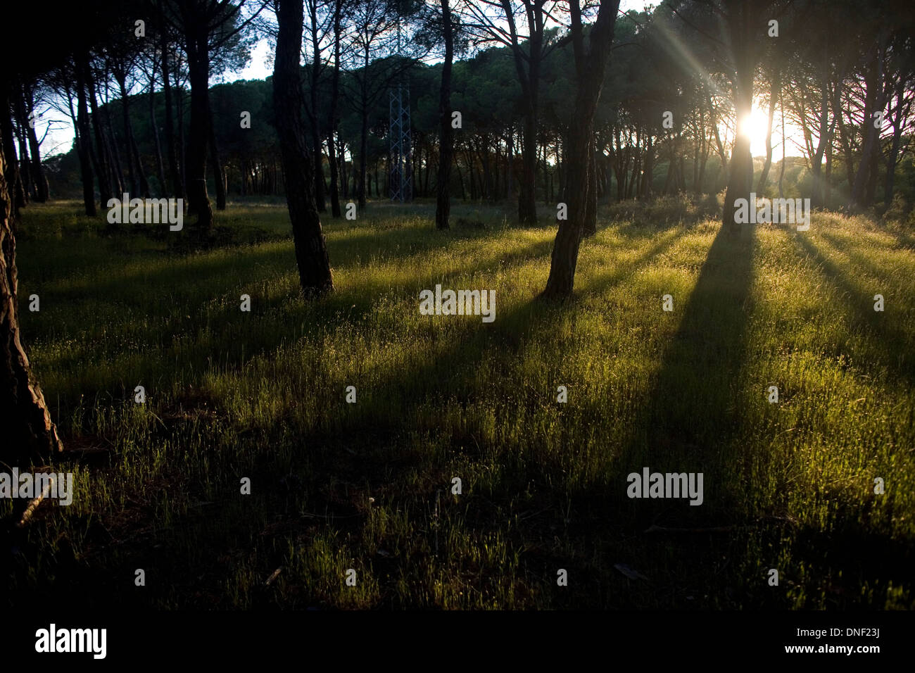 Pine forest in Donana National Park, Huelva province, Andalusia, Spain - Stock Image