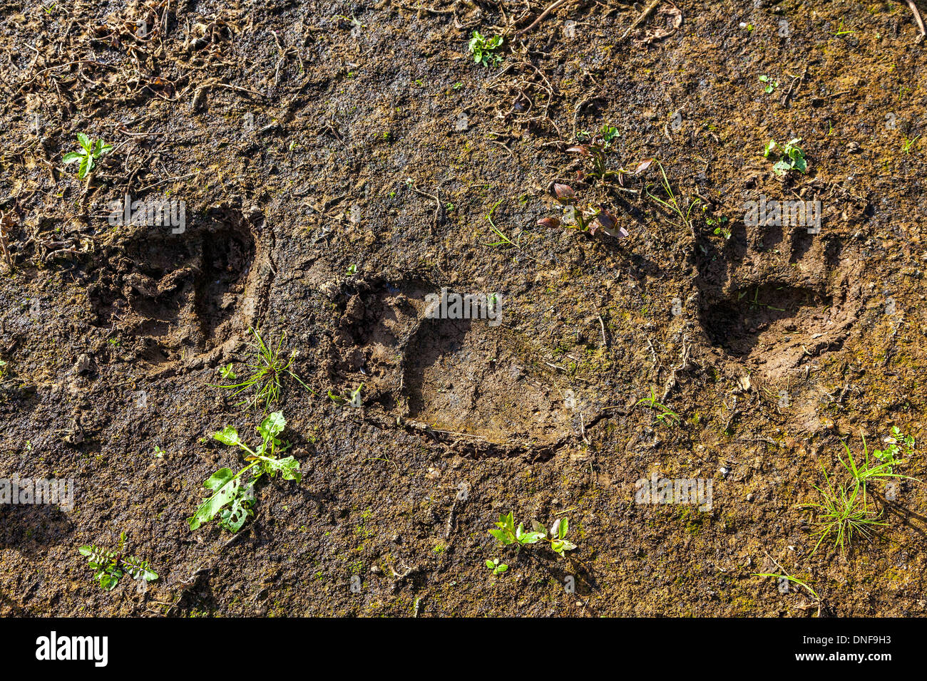 Fresh tracks of a wild bear on the banks of the Traces of a bear - Stock Image