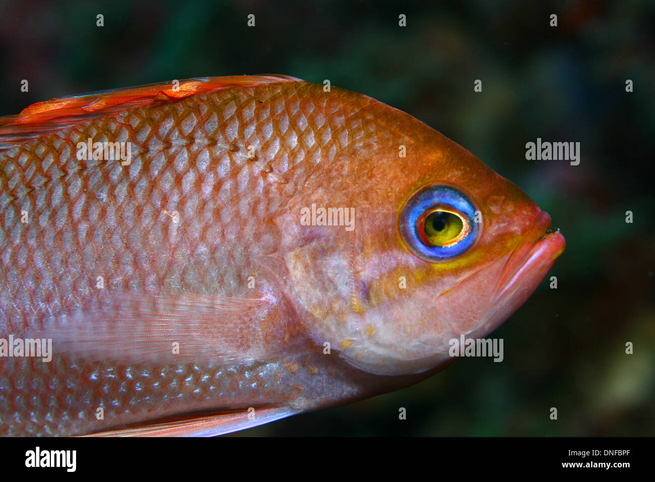 Anthias is a beautiful fish of mediterranean sea - Stock Image