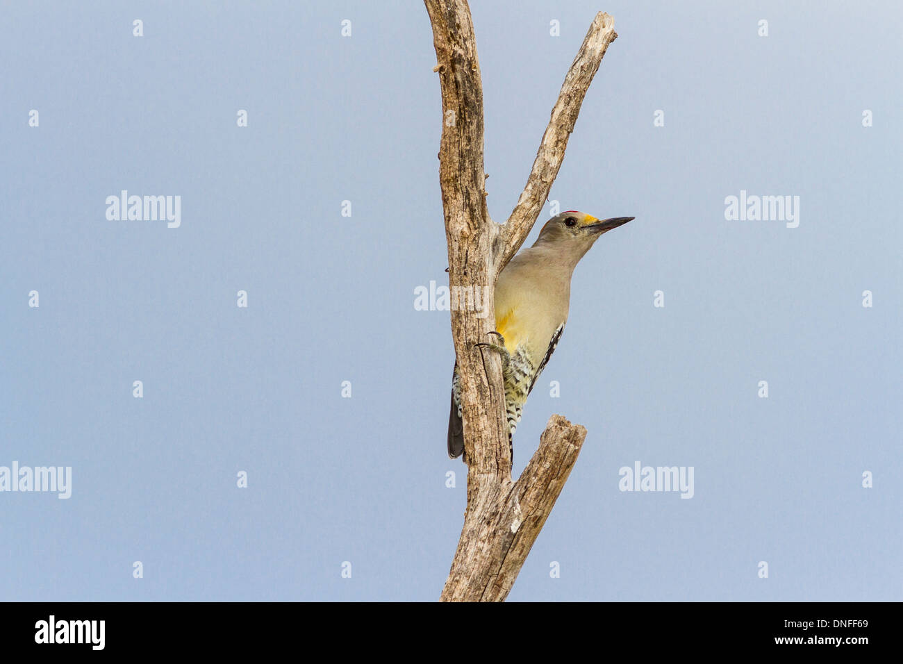 Golden-fronted Woodpecker, Melanerpes aurifrons, perched on tree limb at a ranch near Laredo, Texas. Stock Photo