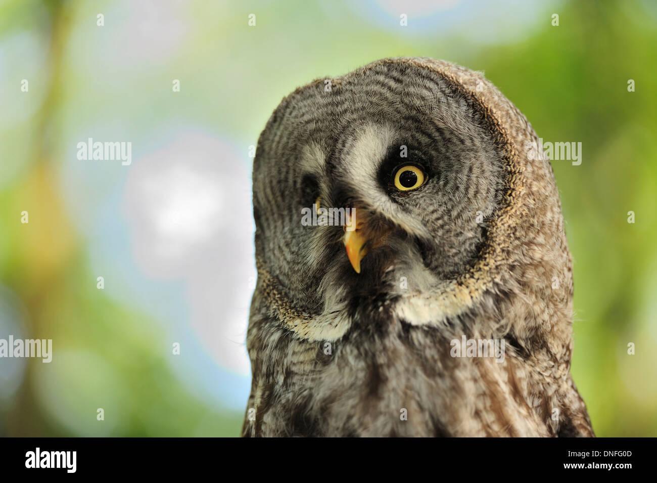 Great Grey Owl, Strix nebulosa, Strigidae - Stock Image