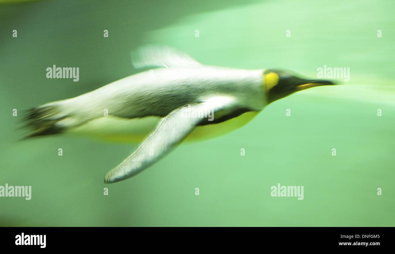 Kaiserpinguin beim Tauchen, Zoo, Pinguin, Unterwasser - Stock Image