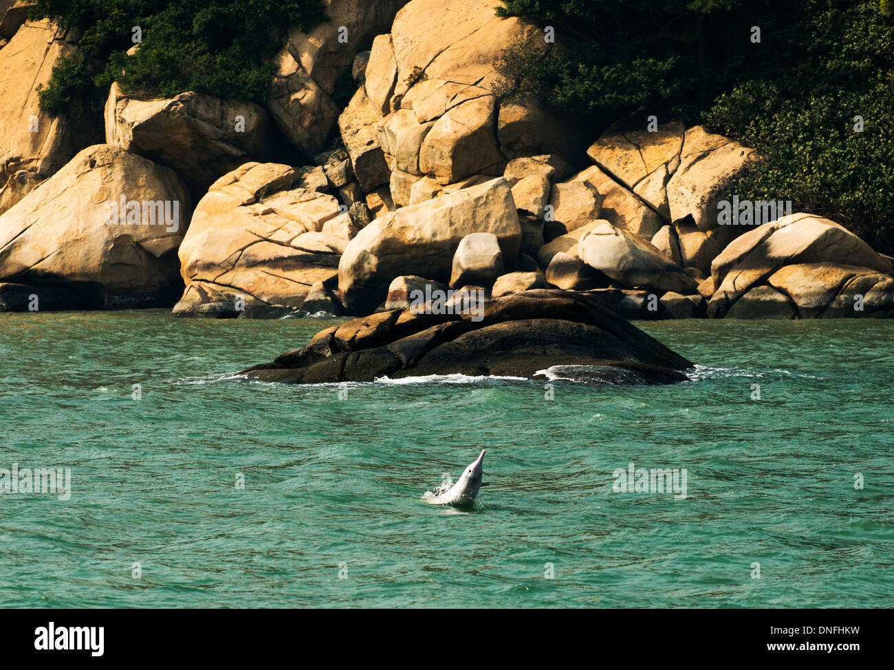 The beautiful Chinese white dolphins swimming in the open sea north of Lantau island in Hong Kong - Stock Image