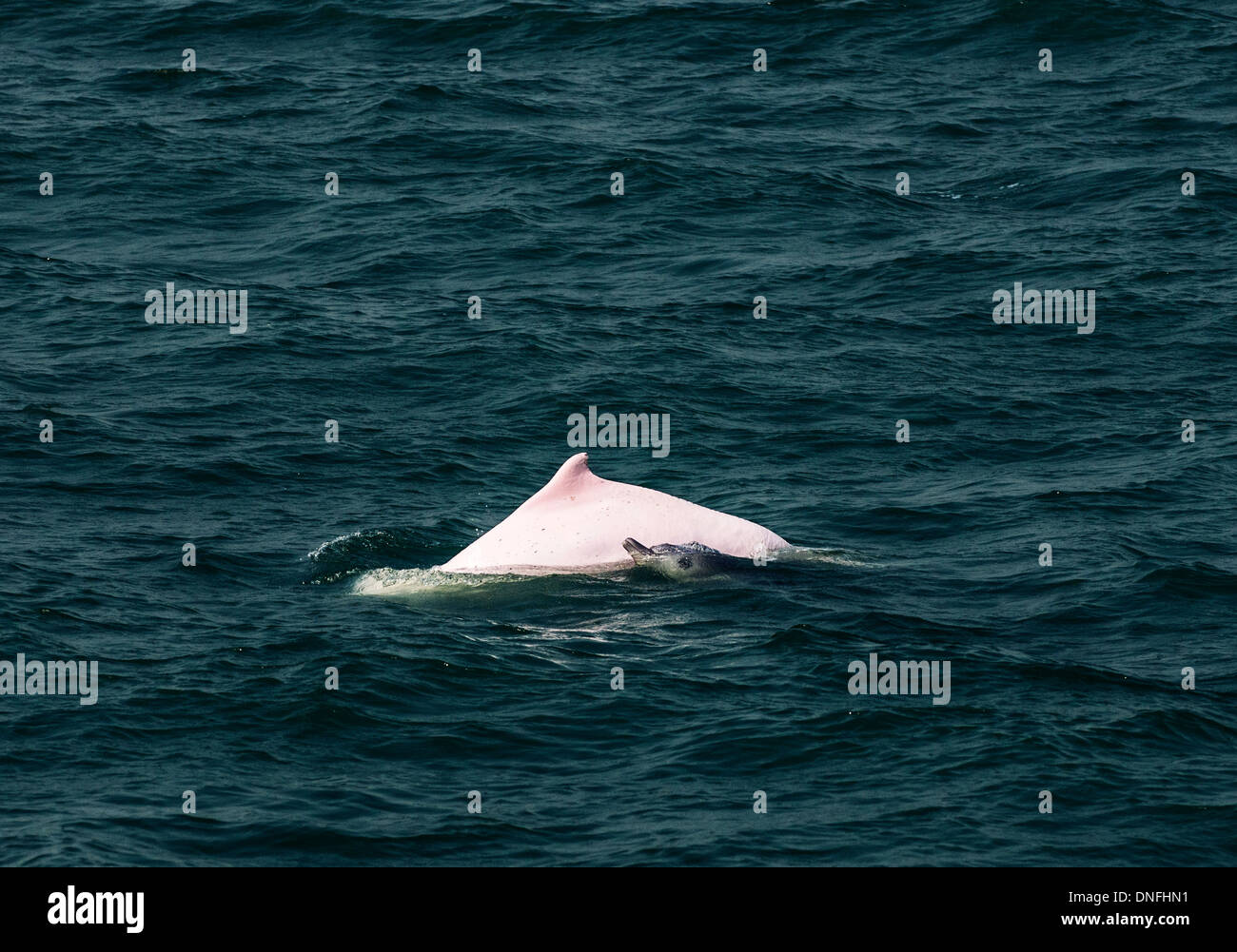 The beautiful Chinese white dolphins swimming in the open sea north of Lantau island in Hong Kong Stock Photo