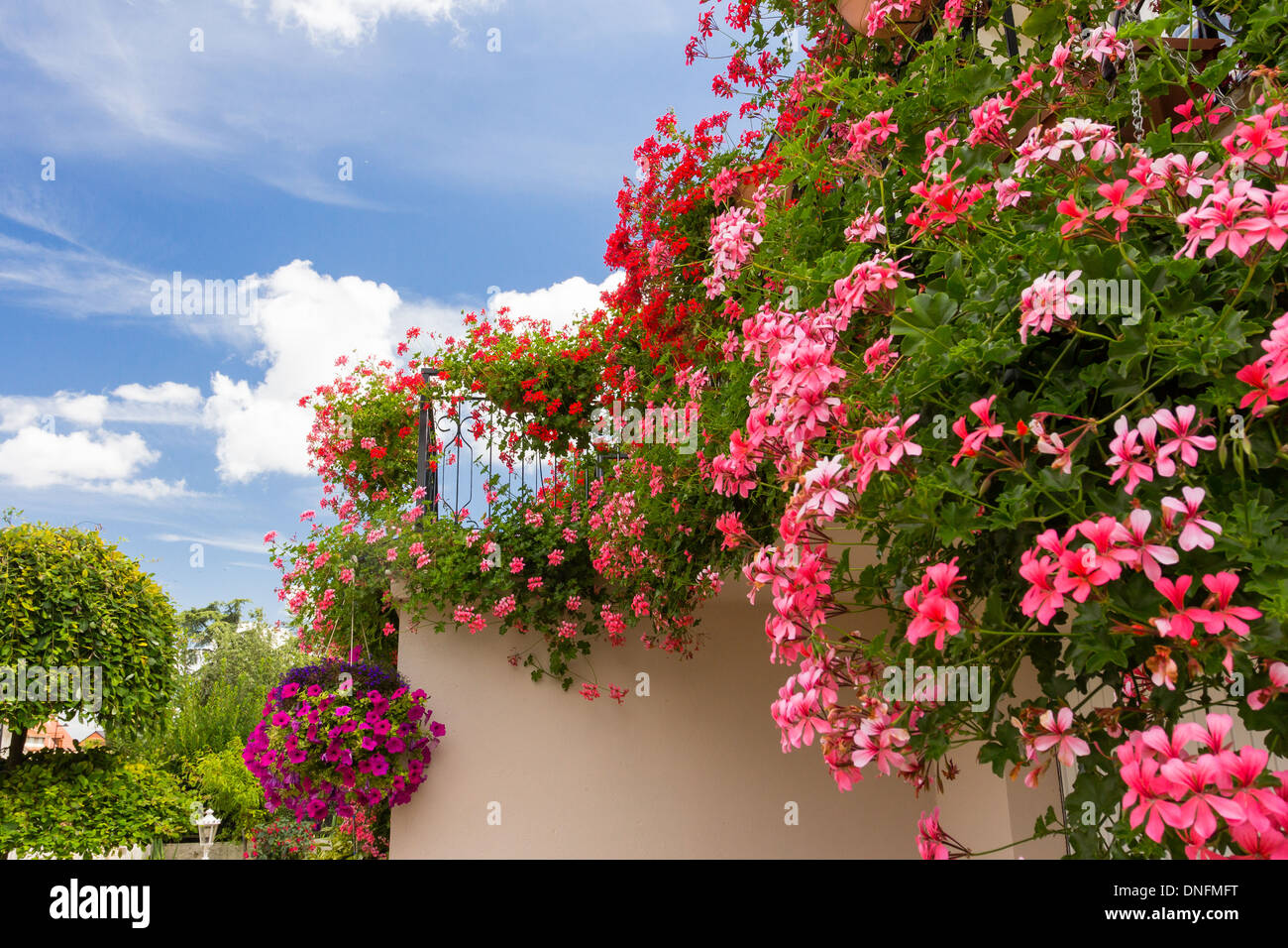 Pelargonium peltatum, common names ivy-leaf geranium and ...