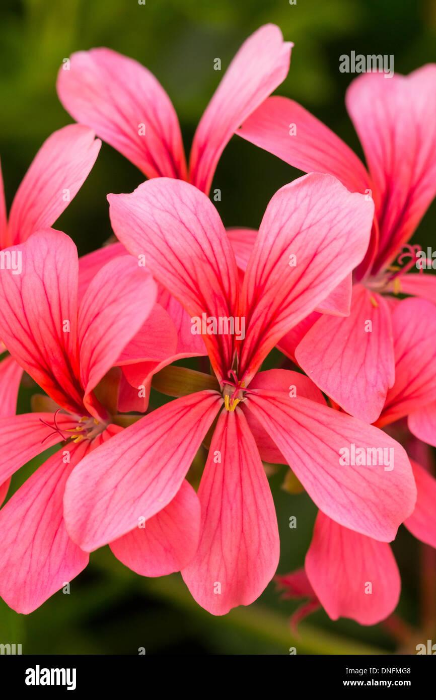 plattform dating trailing single studenten geraniums  Geranium Single Trailing Collection, J Parker Dutch Bulbs.