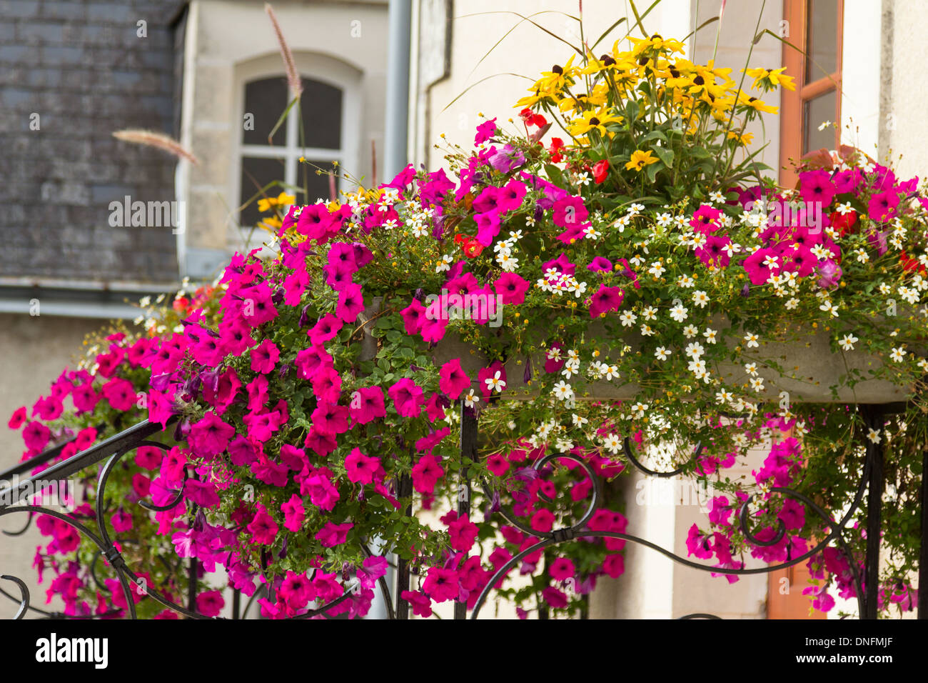 Surfinia Petunia High Resolution Stock Photography And Images Alamy