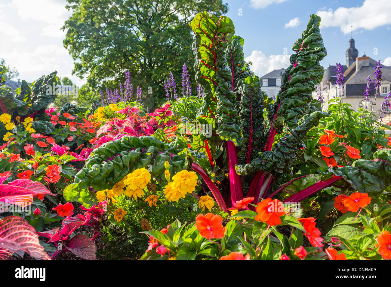 Red-stemmed chard, Beta vulgaris, and Impatiens in a flower bed // Bette à cardes rouges, Beta vulgaris, et impatiences - Stock Image