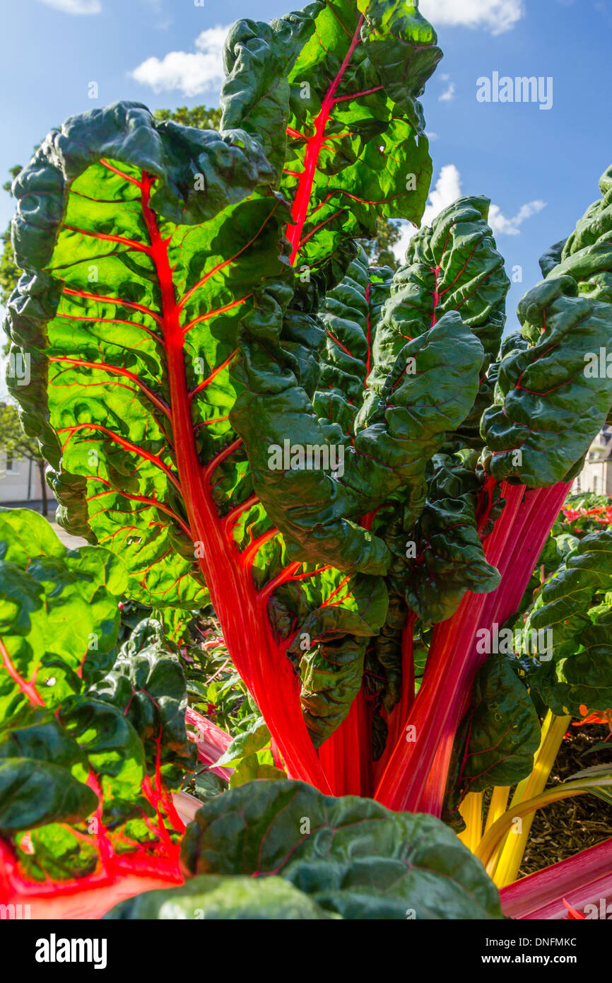 Red-stemmed chard, Beta vulgaris // Bette à cardes rouges, Beta vulgaris - Stock Image