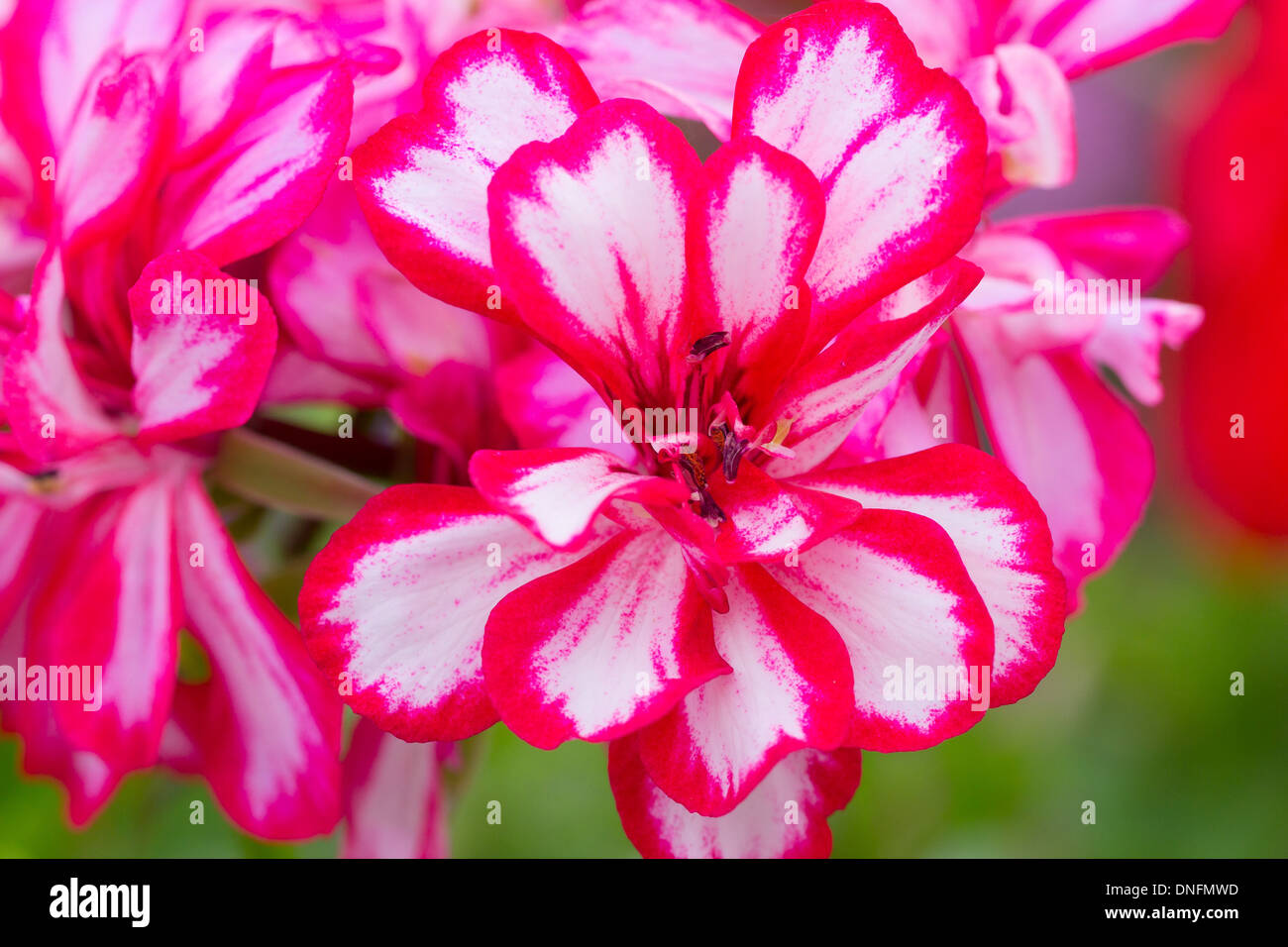 ivy-leaf geranium 'Rouletta' or cascading geranium 'Rouletta', Pelargonium peltatum 'Rouletta' // Géranium lierre 'Rouletta' - Stock Image