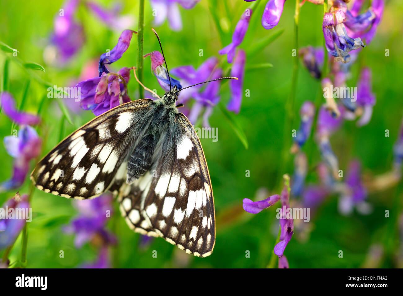 Marbled White Butterflies Melanargia galathea, Satyridae, Castelluccio di Norcia, Umbria, Italy - Stock Image