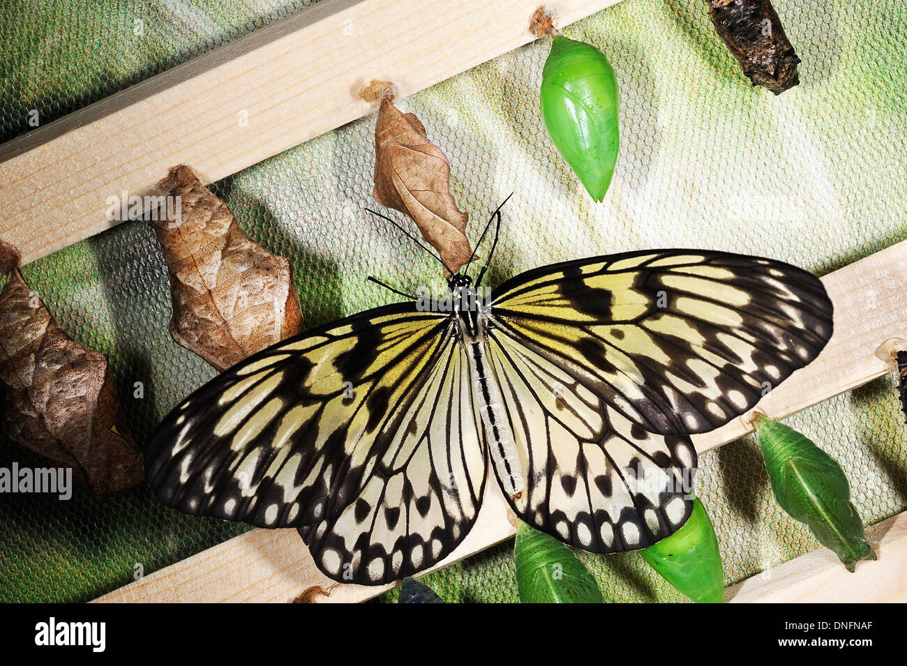 Paper Kite, Rice Paper, or Large Tree Nymphbutterfly (Idea leuconoe), Nymphalidae, Lepidoptera, Asia - Stock Image