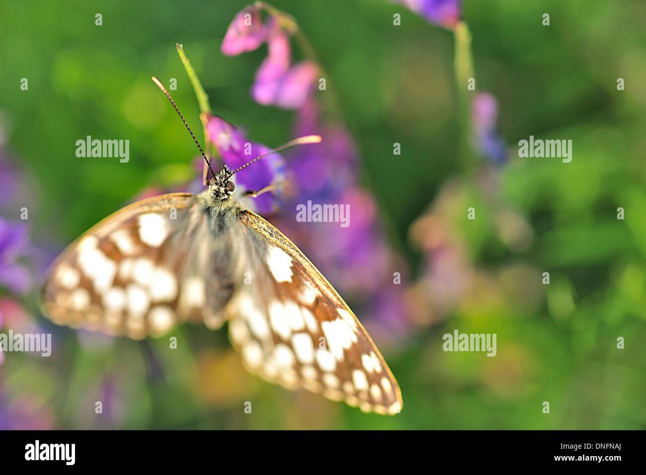 Marbled White Butterflies Melanargia galathea, Satyridae, Castelluccio di Norcia, Umbria, Italy R - Stock Image