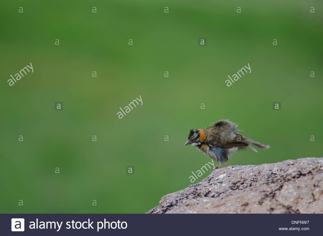 Rufous-collared Sparrow (Zonotrichia capensis). Stock Photo