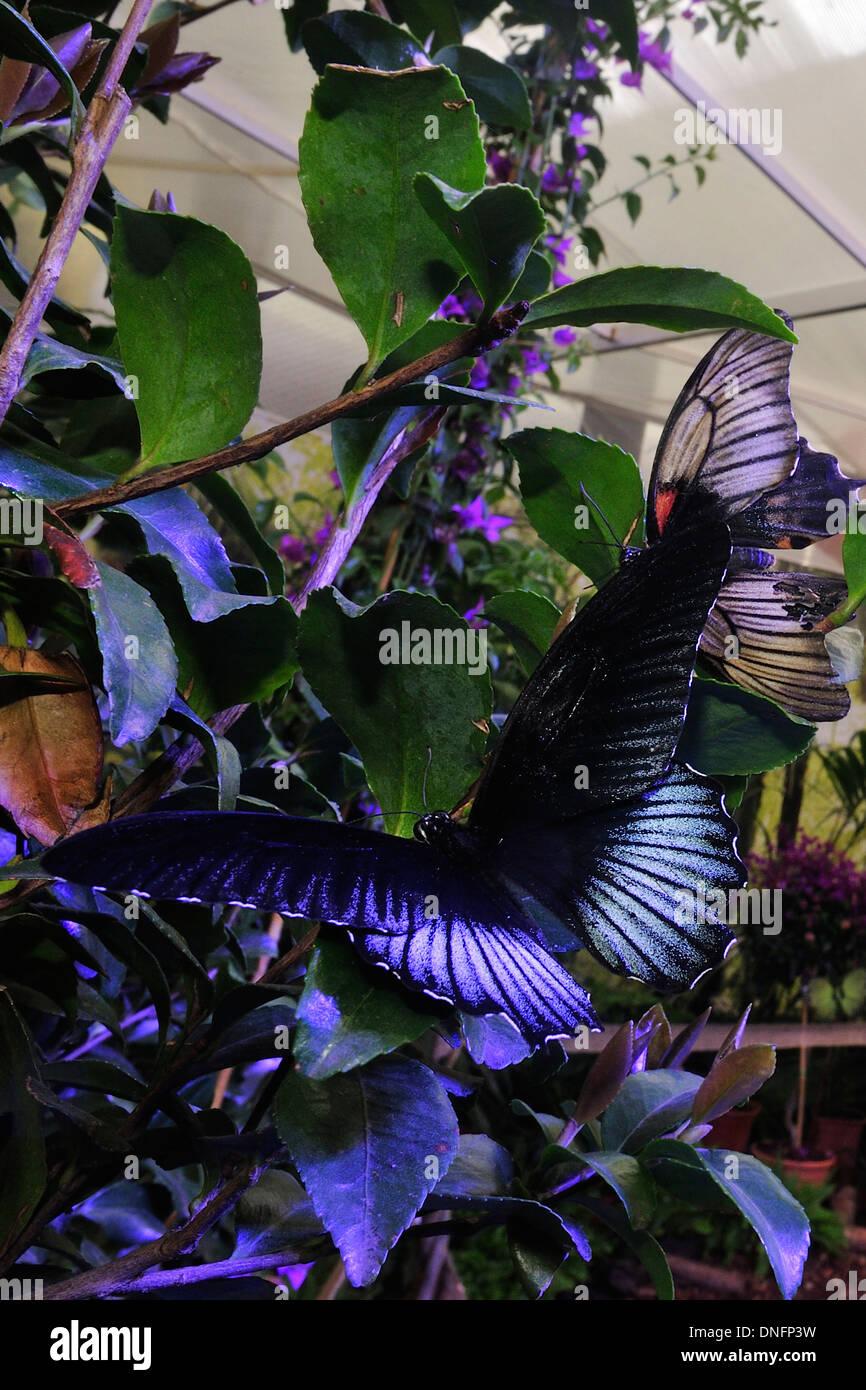 Blue Diadem Hypolimnas salmacis, Nymphalidae Afrotropic ecozone (Africa) - Stock Image