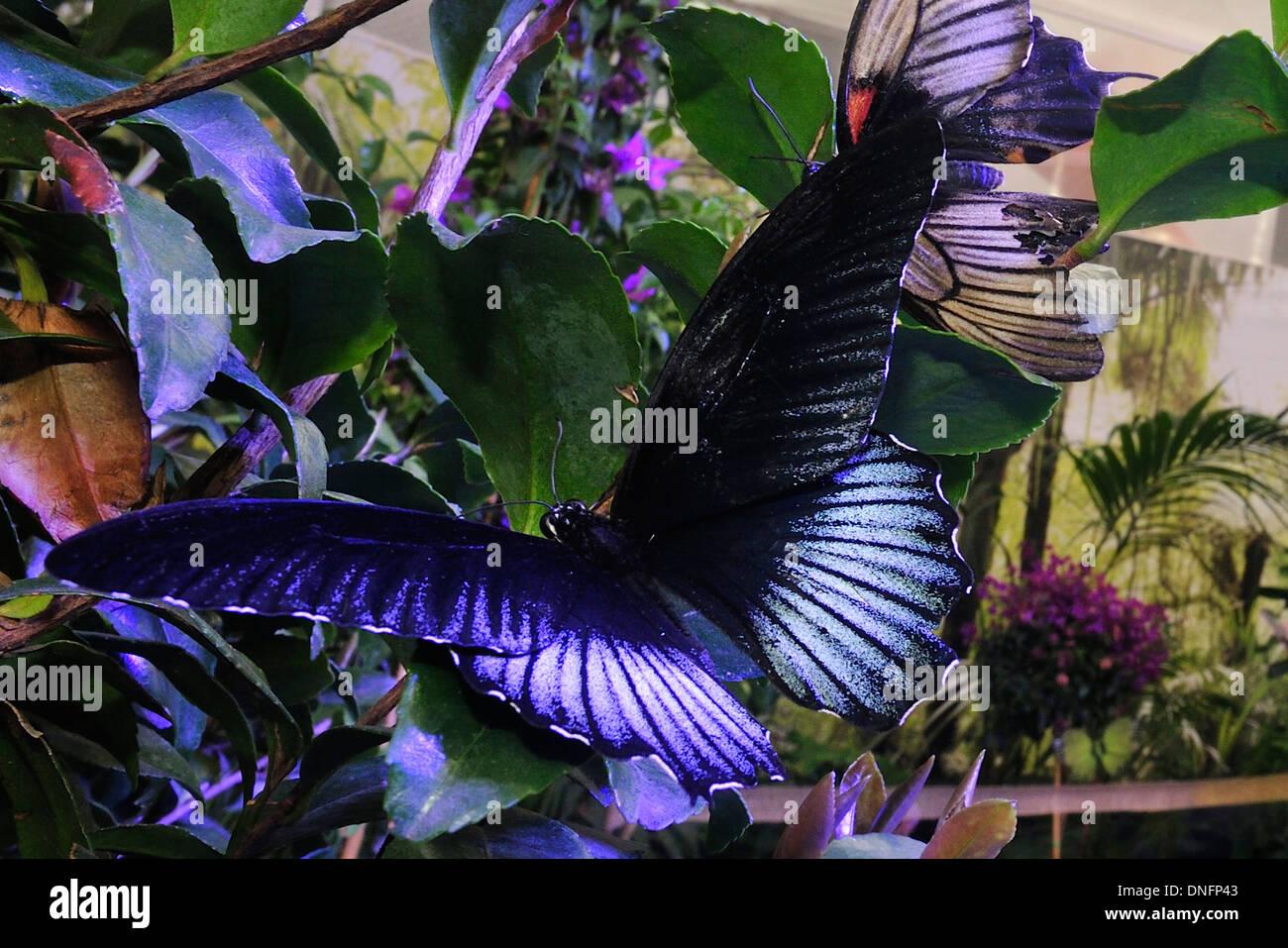 Blue Diadem Hypolimnas salmacis, Nymphalidae, Afrotropic ecozone (Africa) - Stock Image