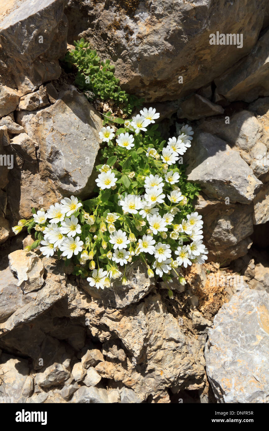 Cerastium Uniflorum Is A Small Alpine Plant With White Flowers That