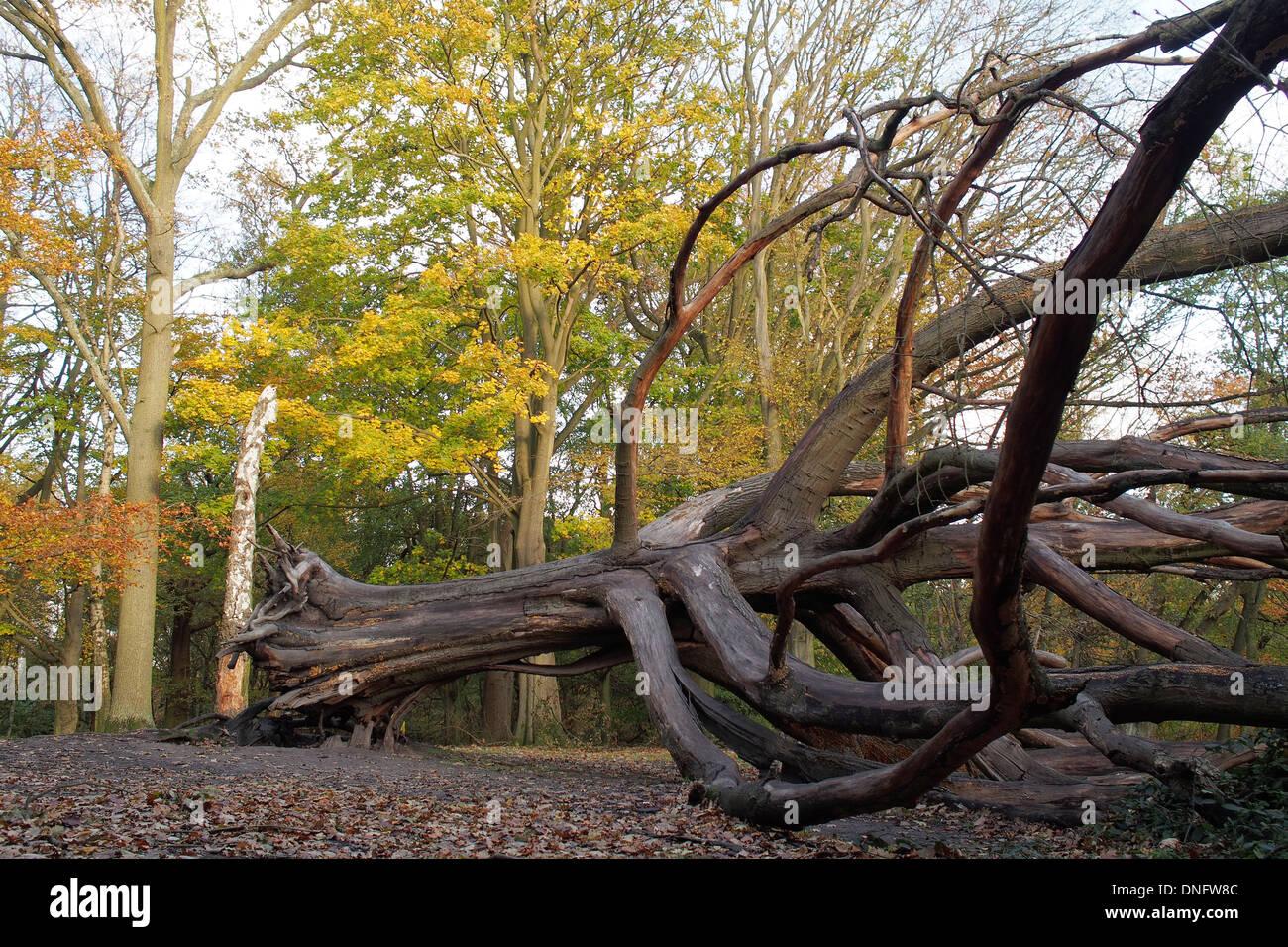Dead fallen tree on Hampstead Heath in London England UK - Stock Image